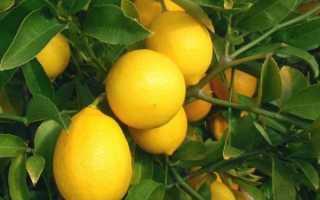 Чем удобрять лимон