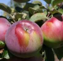 Сорт яблок флорина фото и описание