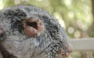 Болезни печени у кроликов фото и описание