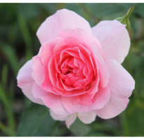 Роза боника 82
