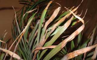 Почему сохнет пальма в домашних условиях