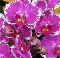 Как правильно поливать орхидею в домашних