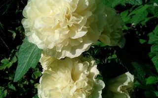 Шток роза многолетняя посадка и уход фото