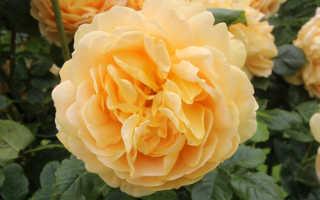 Роза голден селебрейшен фото и описание отзывы