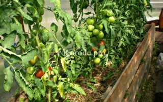 Выращивание томатов в ленинградской области в теплице