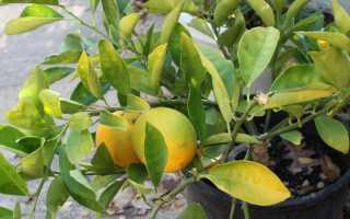 У комнатного лимона опадают листья что делать