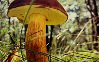 Маховики грибы фото