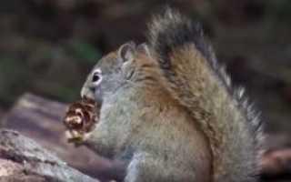 Кедровые орехи их польза