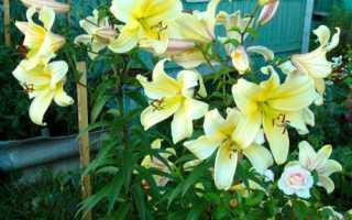 Плетистая лилия посадка и уход