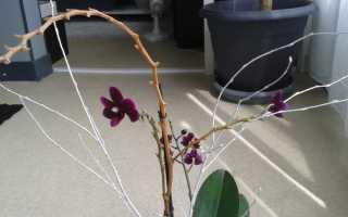 Нужно ли обрезать орхидею после цветения