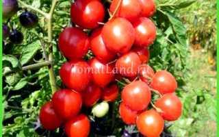 Голландские томаты для теплиц