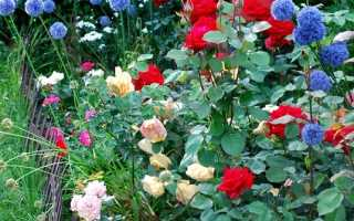 Роза ландлуст энциклопедия роз
