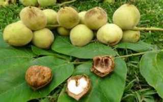 Маньчжурский орех формирование кроны