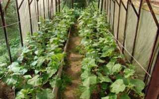 Огурцы в теплице выращивание и уход видео