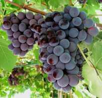 Виноград лилия сорта фото