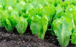 Салат латук польза и вред