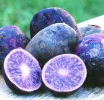 Синяя картошка польза и вред