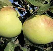 Яблоки орловский сенат