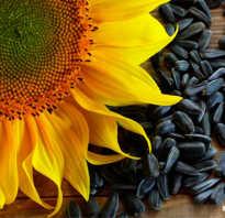 Польза подсолнечных семечек для организма человека