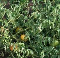 Тля на помидорах в теплице как бороться