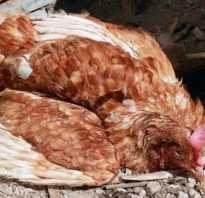 Почему у курицы отказывают ноги как лечить