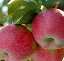 Яблоко лобо описание и фото