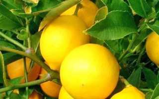 Лимон посадка и уход