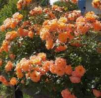 Роза вестерленд энциклопедия роз