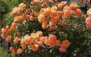Роза вестерланд энциклопедия роз