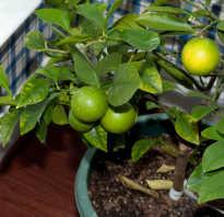 Удобрение для лимона комнатного