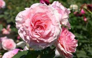 Роза джеймс гелвей
