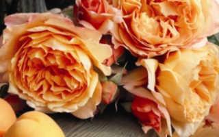 Роза капри энциклопедия роз