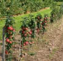 Яблоки на стволе дерева сорт