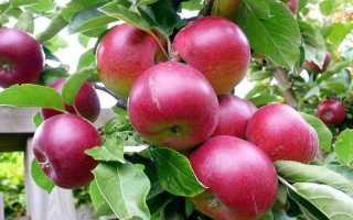 Яблоко груша сорт