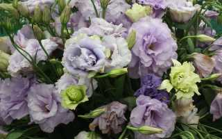 Цветы эустома сорта