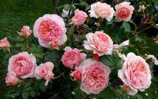 Роза вильям моррис энциклопедия роз